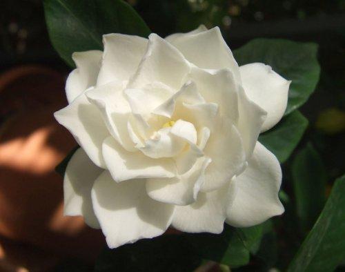 gardenia0